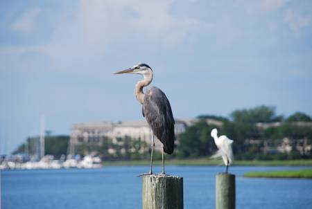 Hilton Head Vacations - Blue Heron