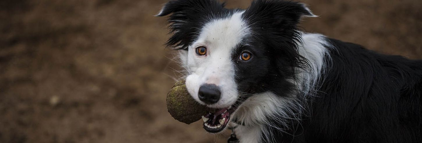 Happy dog at dog park with ball in his mouth